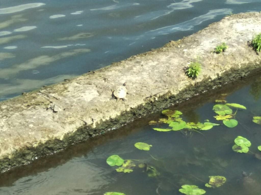 Красноухая черепаха Фото:https://vk.com/nagati