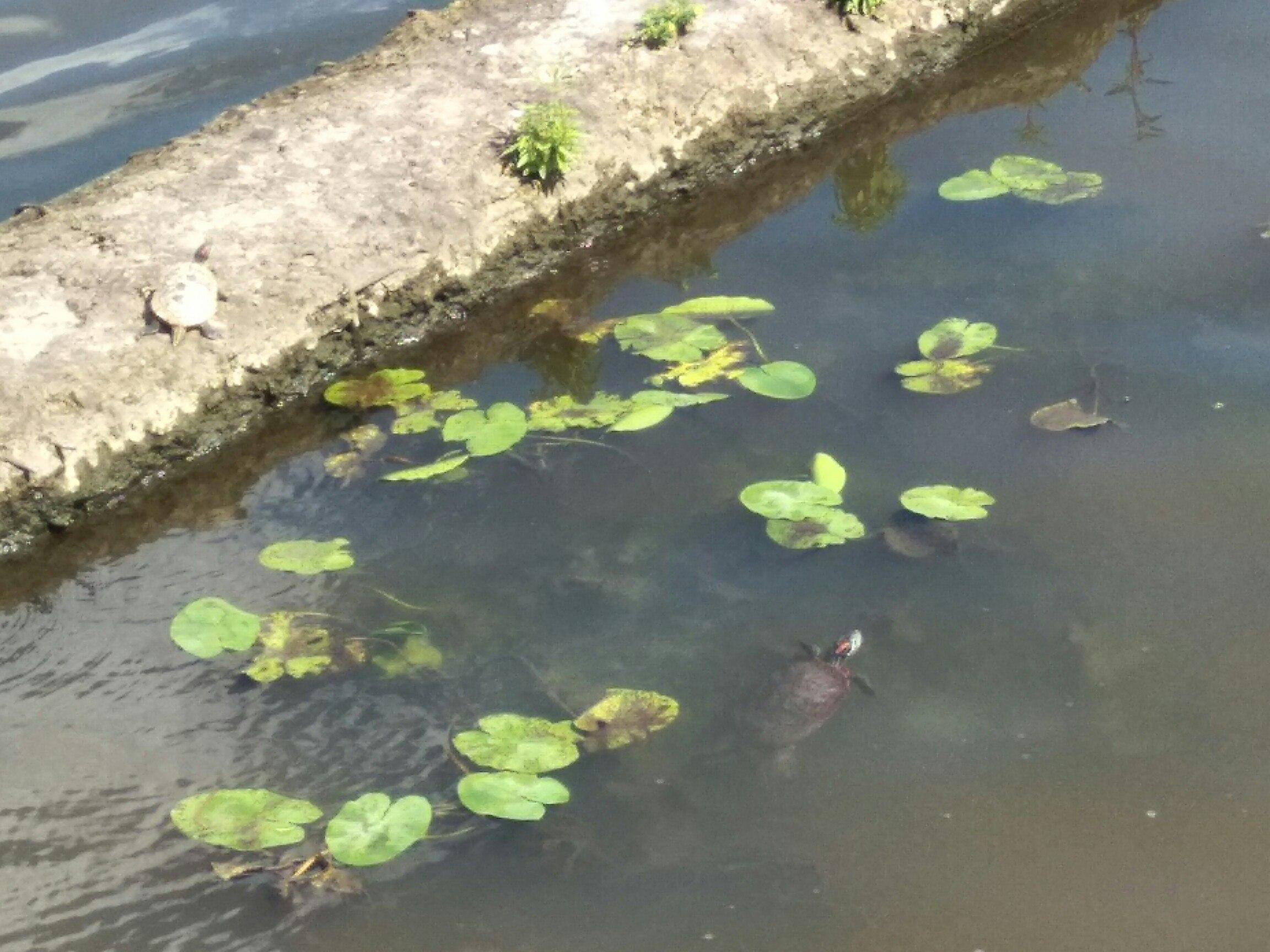Красноухая черепаха Фото: https://vk.com/nagati