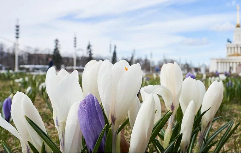 крокус, цветы, мосру, 2603
